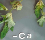 Ca Deficiency Symptoms