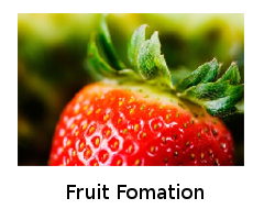 Fruit Formation
